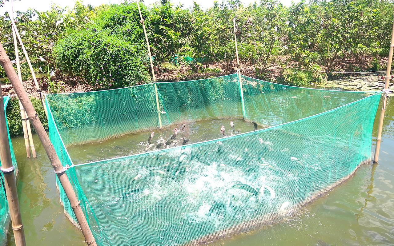 Cá lóc bay độc đáo ở Cồn Sơn