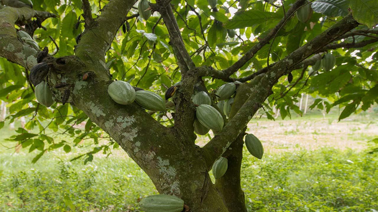 Cacao Tree, Los Haitises Parque Nacional Los Haitises