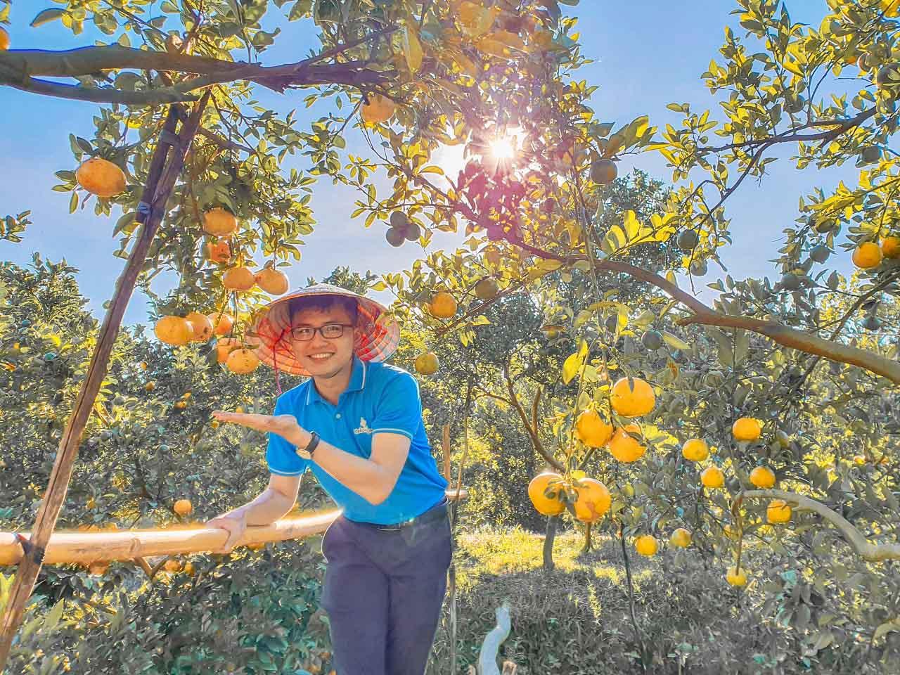 Vườn quýt hồng Lai Vung trĩu quả