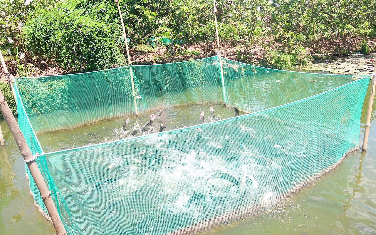 Cá lóc bay Cồn Sơn độc đáo