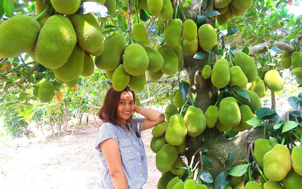 Vườn mít tố nữ trĩu quả tại vườn trái cây Ba Cống