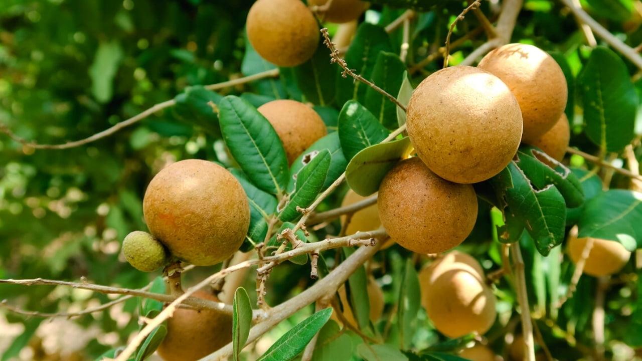 Vườn nhãn Cồn Sơn